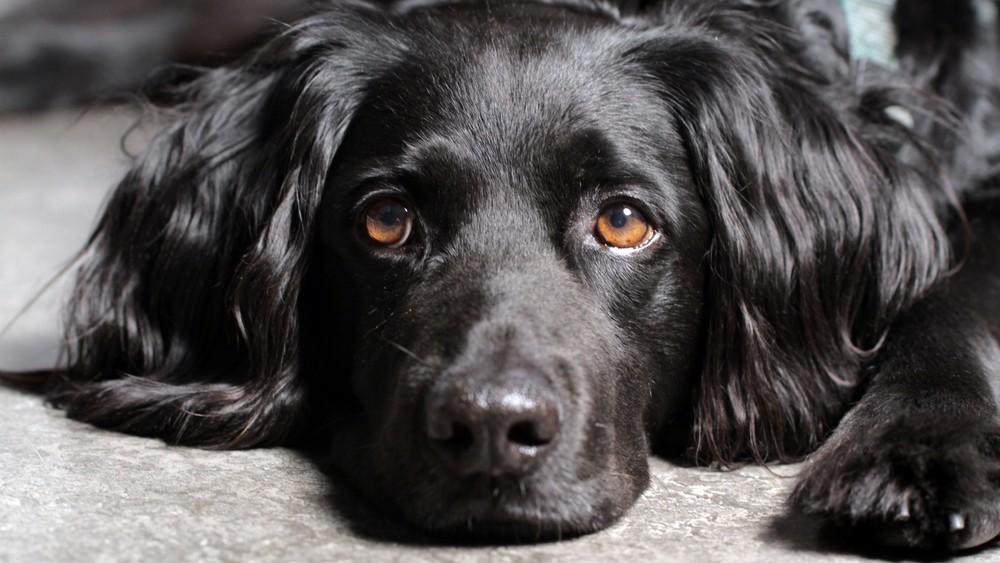 5 lidských jídel, které psovi nikdy nedávejte. Čokoláda i některé ovoce mohou psa zabít