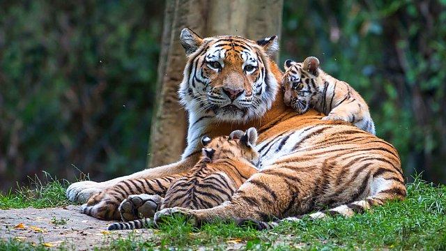 Tygříci lákají návštěvníky do ZOO Zlín. Tři mláďata tygrů ussurijských již zamířili do prostorného výběhu